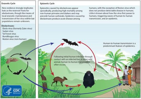 Ebola Vectors